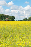 Scandinavian summer landscape with yellow meadow. Swedish summer. Rural landscape with blooming yellow meadow Royalty Free Stock Images