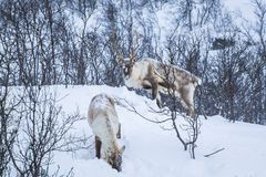 Scandinavian wild male and female reindeer or caribou standing in a forest with snow royalty free stock image