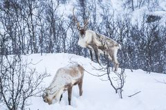 Scandinavian wild male and female reindeer or caribou standing i. N a forest with snow in the mountains during winter season stock image