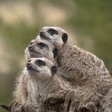 Scanning for threats. Shot of meerkats scanning the sky for threats Stock Images
