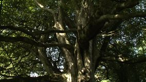 Scanning Up Large Tree. Handheld, medium close up shot, scanning up a large tree stock footage