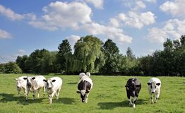 scape коровы Стоковая Фотография RF