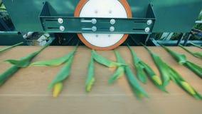 Scapes av tulpan får bearbetad av en rund press Blommor bransch, blommaproduktion arkivfilmer