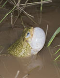 Scaphiopus couchii. Couchi's spadefoot male calling in the breeding pond Royalty Free Stock Images