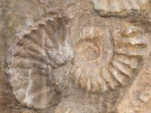 Fossil of Scapithes amonite found in Morocco, North Africa Stock Photo