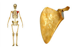 Scapula Stock Images