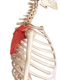 The scapula Royalty Free Stock Photos
