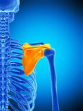 The scapula Stock Image