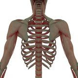 Scapula with Ribs Back Side View Royalty Free Stock Images