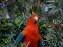scapularis попыгая короля alisterus австралийские Стоковые Фото