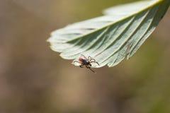 蜱scapularis 免版税图库摄影