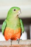Scapularis australianos de Alisterus do Rei-papagaio fotografia de stock