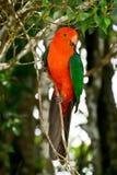 Scapularis australiens d'Alisterus de perroquet de roi Image libre de droits