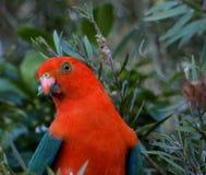 Scapularis australiens d'Alisterus de perroquet de roi Photo stock