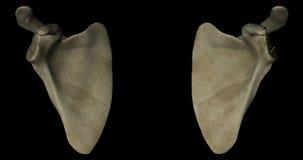 Scapulas or Shoulder Blades Bone of Human Skeleton in Rotation stock video footage