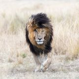Scar the lion in the grassland of the Masai Mara. Adult male lion emerging from the red oat grass of the Masai Mara, This mature lion is known locally as Scar or stock photo