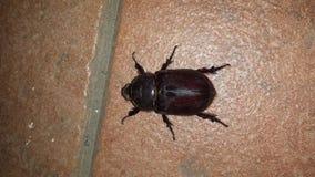 scarabäus Stockbild