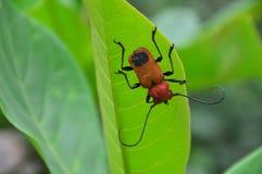 scarabäus Stockbilder