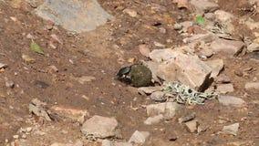 Scarabäuskäfer kämpft mit Düngemittelball, Spanien stock footage