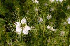 Scarabée épais-à jambes femelle de fleur sur la fleur de nigella Images stock
