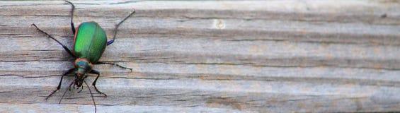 Scarabée-étroit vert Images libres de droits