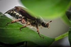 scarabée Photographie stock libre de droits