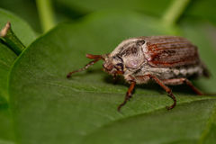 scarabée Photo stock