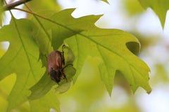 scarabée Photo libre de droits