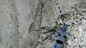Scarabée alpin de Longhorn clips vidéos