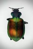 Scarabée coloré de coléoptère image libre de droits