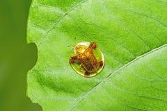 Scarabée d'or de tortue sur la feuille verte sur la feuille verte Photographie stock