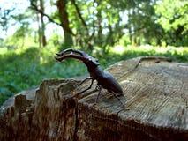 scarabée 03 d'Insecte-mâle Photos libres de droits