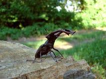 scarabée 02 d'Insecte-mâle Images stock