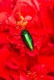 Scarabée de bijou sur des fleurs Photos libres de droits