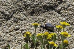 Scarabée de boursouflure de la Californie, désert de Mojave Photo libre de droits