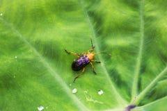 Scarabée de Calomela sur une feuille verte photo libre de droits