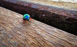 Scarabée de Defoliator de vigne, également connu sous le nom de division verte d'Iphimeis de scarabée photographie stock libre de droits