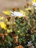Scarabée de Ladybird sur une marguerite de fleur blanche Images stock