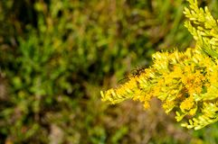Scarabée de longhorn de foreur de sauterelle sur les fleurs dorées photos stock