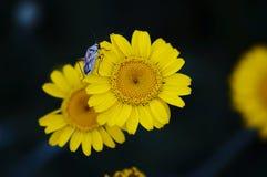 Scarabée de Longhorn sur une fleur jaune Image stock