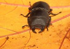 Scarabée de mâle noir Image stock