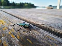Scarabée de mâle sur le bois au lac photographie stock