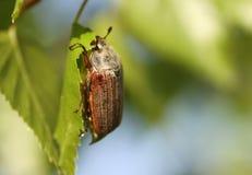 Scarabée de mai sur un arbre Photo libre de droits