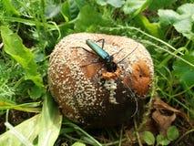 Scarabée de musc alimentant sur la pomme putréfiée image libre de droits
