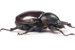 Scarabée de Rhinceros, Unicorn Beetle Photo stock
