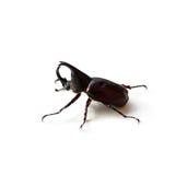 Scarabée de rhinocéros ou scarabée de Hercule d'isolement sur le blanc Photographie stock