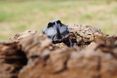 Scarabée de rhinocéros - vue de face Photos stock
