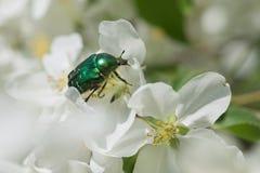 scarabée rose de fleur photo stock - image: 60632778