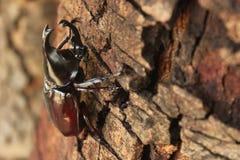 Scarabée de scarabée Images stock