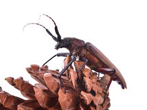 scarabée Insescts-Long-à cornes sur le fond blanc Image libre de droits